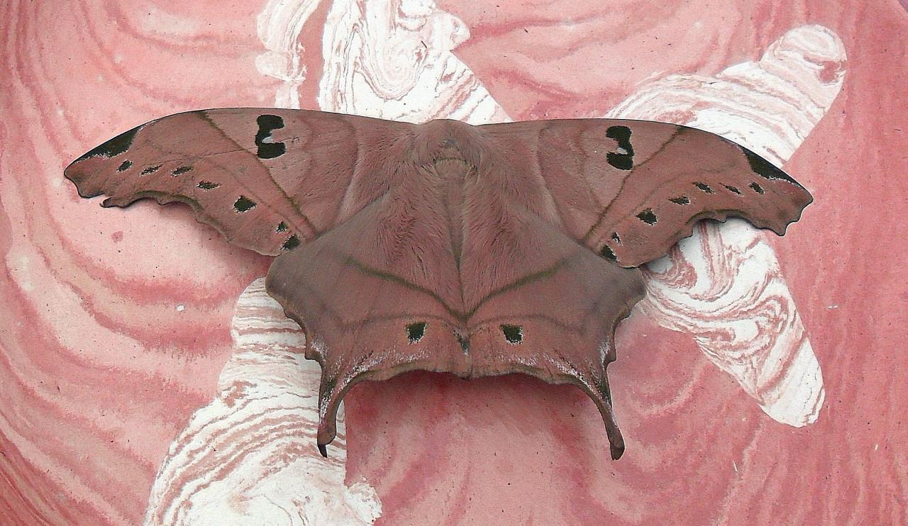 papillon sur papillon
